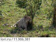 Купить «nature animal africa cat safari», фото № 11906381, снято 21 марта 2019 г. (c) PantherMedia / Фотобанк Лори