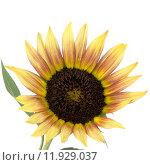 Купить «Sunflower flower», фото № 11929037, снято 25 марта 2019 г. (c) PantherMedia / Фотобанк Лори