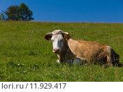 Купить «single cow laying on green meadow on blue sky background», фото № 11929417, снято 19 сентября 2019 г. (c) PantherMedia / Фотобанк Лори
