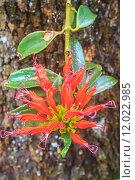 Купить «Aeschynanthus Hildebrandii, wild flowers in forest», фото № 12022985, снято 21 марта 2019 г. (c) PantherMedia / Фотобанк Лори