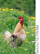 chicken poultry dandelion rooster cock. Стоковое фото, фотограф Gerald Kiefer / PantherMedia / Фотобанк Лори