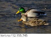Купить «Pair of Mallard Ducks Swimming Down the River», фото № 12155745, снято 18 января 2019 г. (c) PantherMedia / Фотобанк Лори