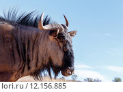 Купить «portrait of A wild Wildebeest Gnu», фото № 12156885, снято 24 января 2019 г. (c) PantherMedia / Фотобанк Лори