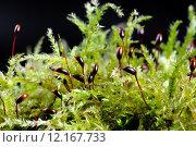 Купить «nature moss moist bryophyta laubmoos», фото № 12167733, снято 15 ноября 2018 г. (c) PantherMedia / Фотобанк Лори