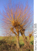 Купить «beheaded treasures - pollarded willows in the winter sun», фото № 12173505, снято 19 апреля 2019 г. (c) PantherMedia / Фотобанк Лори