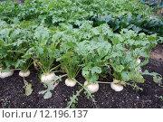 Купить «Organic radish», фото № 12196137, снято 25 мая 2018 г. (c) PantherMedia / Фотобанк Лори