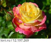 Купить «Роза плетистая Роксан (лат. Roxane), Laperriere», эксклюзивное фото № 12197269, снято 29 июля 2015 г. (c) lana1501 / Фотобанк Лори