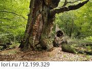 Купить «oak calibrate beech forest deutsche», фото № 12199329, снято 25 марта 2019 г. (c) PantherMedia / Фотобанк Лори