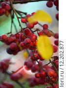 Купить «plant fruit autumn fall embellishment», фото № 12202877, снято 22 января 2019 г. (c) PantherMedia / Фотобанк Лори