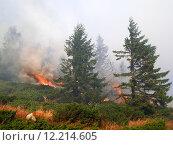 Купить «Coniferous forest in fire», фото № 12214605, снято 20 марта 2019 г. (c) PantherMedia / Фотобанк Лори