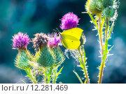 Купить «Дневная бабочка Лимонница  (Gonepteryx) на цветах Чертополоха», фото № 12281469, снято 5 мая 2015 г. (c) Евгений Мухортов / Фотобанк Лори