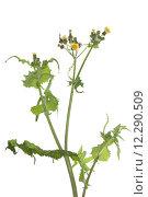 Купить «Sonchus oleraceus», фото № 12290509, снято 17 августа 2018 г. (c) PantherMedia / Фотобанк Лори