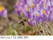 Купить «Closeup view of bee arriving to the crocus flower», фото № 12308381, снято 27 апреля 2018 г. (c) PantherMedia / Фотобанк Лори