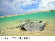Купить «Split-screen View of a Stingray Swimming, Sun Island (Nalaguraidhoo), South Ari Atoll, Maldives», фото № 12318693, снято 19 октября 2018 г. (c) PantherMedia / Фотобанк Лори