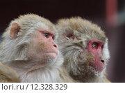asia mammal india monkey bandar. Стоковое фото, фотограф roland brack / PantherMedia / Фотобанк Лори