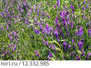 Купить «Wild flowers on the field (Vicia cracca) », фото № 12332985, снято 24 января 2019 г. (c) PantherMedia / Фотобанк Лори