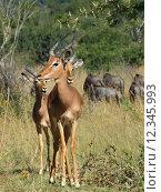 Купить «group africa savannah gazelle south», фото № 12345993, снято 19 октября 2018 г. (c) PantherMedia / Фотобанк Лори