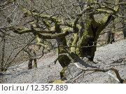 Купить «oak calibrate eichenwald kahle hardt», фото № 12357889, снято 25 марта 2019 г. (c) PantherMedia / Фотобанк Лори