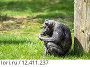 Купить «Old chimp eating fruit», фото № 12411237, снято 25 марта 2019 г. (c) PantherMedia / Фотобанк Лори