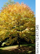Купить «Осенний сезон - Cercidiphyllum tree», фото № 12417345, снято 3 октября 2010 г. (c) Татьяна Кахилл / Фотобанк Лори