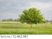 Купить «Green tree on a field», фото № 12462981, снято 18 сентября 2019 г. (c) PantherMedia / Фотобанк Лори