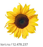 Купить «sunflower isolated on white background», фото № 12478237, снято 7 декабря 2017 г. (c) PantherMedia / Фотобанк Лори