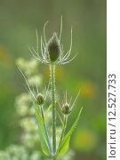 Купить «teasels dipsacoideae dipsacus fullonum sylvestris», фото № 12527733, снято 22 марта 2019 г. (c) PantherMedia / Фотобанк Лори
