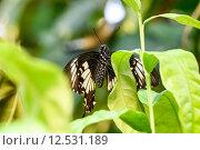 Купить «Swallowtail Butterfly (Papilio rumanzovia, Schwalbenschwanz) sitting on a green leaf», фото № 12531189, снято 23 января 2019 г. (c) PantherMedia / Фотобанк Лори