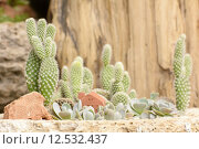 Купить «Cactus is a plant that is in the desert. It is perennial. Even in the arid desert kandan Without death. Cactus juice will be stored in the trunk are many. It uses the water throughout the dry periods that are long-lasting and it will change as the thorns to reduce dehydration. Therefore, it can be placed in the desert. », фото № 12532437, снято 22 мая 2019 г. (c) PantherMedia / Фотобанк Лори
