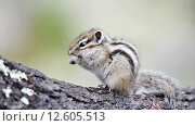 Купить «Сибирский бурундук (Tamias sibiricus)», видеоролик № 12605513, снято 2 сентября 2015 г. (c) Андрей Павлов / Фотобанк Лори