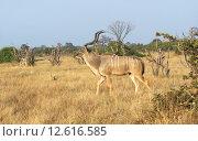 Купить «nature male animal wild african», фото № 12616585, снято 24 февраля 2019 г. (c) PantherMedia / Фотобанк Лори
