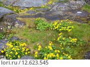 Купить «Caltha palustris or marsh marigold or kingcup», фото № 12623545, снято 23 июля 2019 г. (c) PantherMedia / Фотобанк Лори