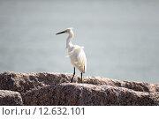 Купить «Snowy egret», фото № 12632101, снято 6 июля 2020 г. (c) PantherMedia / Фотобанк Лори