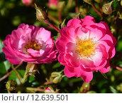 Купить «Роза кустарниковая Пинк Аморина (лат. Pink Amorina), De Ruiter Innovations B.V., Нидерланды», эксклюзивное фото № 12639501, снято 20 августа 2015 г. (c) lana1501 / Фотобанк Лори