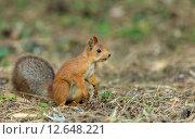 Рыжая белка сидит на траве. Стоковое фото, фотограф Евгений Чернышов / Фотобанк Лори