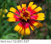 Купить «Разноцветная цинния (лат. Zinnia L)», эксклюзивное фото № 12651537, снято 17 июля 2010 г. (c) lana1501 / Фотобанк Лори