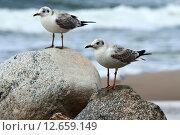 Купить «Две чайки сидят на камнях», фото № 12659149, снято 20 августа 2014 г. (c) Сергей Трофименко / Фотобанк Лори