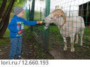 Купить «Мальчик кормит горного козла (барана) в зоопарке через ограждение», эксклюзивное фото № 12660193, снято 11 июля 2015 г. (c) Алексей Бок / Фотобанк Лори