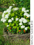 Купить «Гортензия садовая (лат. Hydrangea paniculata)», эксклюзивное фото № 12672813, снято 5 августа 2015 г. (c) Елена Коромыслова / Фотобанк Лори