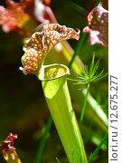 Купить «Хищное экзотическое растение Sarracenia spp. et hort (лат. Sarracenia)», эксклюзивное фото № 12675277, снято 6 августа 2015 г. (c) lana1501 / Фотобанк Лори