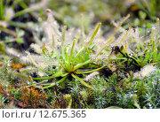 Купить «Росянка Капская Альбино (лат. Drosera capensis Albino)», эксклюзивное фото № 12675365, снято 6 августа 2015 г. (c) lana1501 / Фотобанк Лори