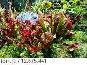 Купить «Насекомоядные растения», эксклюзивное фото № 12675441, снято 6 августа 2015 г. (c) lana1501 / Фотобанк Лори