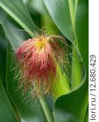 Купить «plant corn stylus corncob futtermais», фото № 12680429, снято 23 августа 2019 г. (c) PantherMedia / Фотобанк Лори