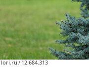 Ветки голубой ели и трава. Стоковое фото, фотограф Евгений Чернышов / Фотобанк Лори