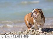 Английский бульдог на берегу моря. Стоковое фото, фотограф Евгений Чернышов / Фотобанк Лори