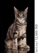 Полосатый кот на чёрном фоне смотрит в кадр. Стоковое фото, фотограф Юдин Владимир / Фотобанк Лори