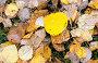 Желтые листья с каплями дождя на земле, фото № 12694745, снято 13 сентября 2015 г. (c) Алексей Маринченко / Фотобанк Лори