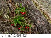 Природная композиция  красные ягоды брусники на старом бревне упавшей сосны. Стоковое фото, фотограф Сергей Кудрявцев / Фотобанк Лори