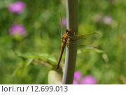 Купить «Стрекоза Sympetrum flaveolum - Симпетрум желтый на стебле крупным планом», фото № 12699013, снято 20 мая 2019 г. (c) М Б / Фотобанк Лори