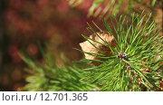 Ель, лист. Стоковое видео, видеограф Дмитрий Кузьмин / Фотобанк Лори